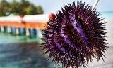 Törnekronan är en sjöstjärna som äter koraller – och trivs när vattnet blir varmare. För att minska skadorna på korallreven jagar lokalbefolkningen sjöstjärnorna med harpun. Bild: Linn Bergbrant.