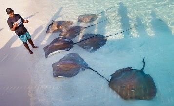 Personalen på Banyan Tree vill att besökarna engagerar sig i arbetet med att skydda havsmiljön. För att väcka intresse matar de varje kväll stingrockor vid båtbryggan. Många av besökarna följer sedan med bort till marinlabbet för att lära sig mer om verksamheten. Foto: Linn Bergbrant.