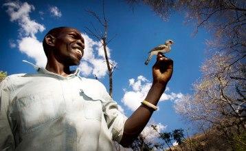 De svartstrupiga honungsvisarna är vilda och låter sig i normala fall inte klappas. Fågeln på bilden fångades i forskningssyfte och släpptes sedan. Bild: Claire Spottiswoode.