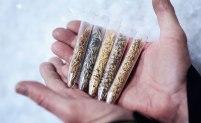Ris är den enskilt vanligaste grödan nere i Svalbards globala frövalv. Ingen annan gröda finns i så många olika varianter som riset. Bild: Erik Abel.