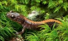 Salamandrar i Nordamerika krymper. Det är en klimatanpassning som gör att de inte behöver äta mer, trots att deras kaloribehov ökar när det blir varmare. Bild: John Cancalosi/NPL.