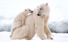 I södra Alaska dör allt fler isbjörnsungar under sitt första levnadsår. Det beror sannolikt på svält. De krympande havsisarna försvårar isbjörnarnas jakt på säl. Bild: Istockphoto.