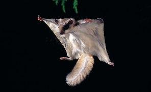 Nordamerikas två arter av flygekorre har numera överlappande utbredningsområden på grund av klimatförändringarna. Det leder till att de parar sig över artgränserna, så kallad hybridisering. Bild: Stephen Dalton/NPL.