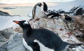 Åsnepingvinerna häckar på Antarktiska halvön, Falklandsöarna och Sydgeorgien. Bestånden ökar. Klimatförändringarna har gynnat arten, som är ovanligt anpassningsbar för att vara pingvin. Bild: Ben Cranke/NPL.