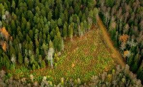 Avverkad skog ersätts med snabbväxande tall- eller granplantor. Det medför att det är svårt att studera hur klimatförändringarna påverkar skogens tillväxt. Bild: Johanna Hanno/TT.
